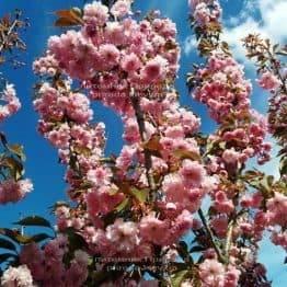 Сакура Канзан (Вишня мелкопильчатая) (Prunus serrulata Kanzan) ФОТО Питомник растений Природа (11)