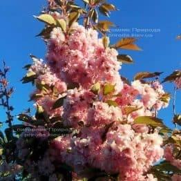 Сакура Канзай (Вишня дрібнопильчата) (Prunus serrulata Kanzan) ФОТО Розплідник рослин Природа (2)