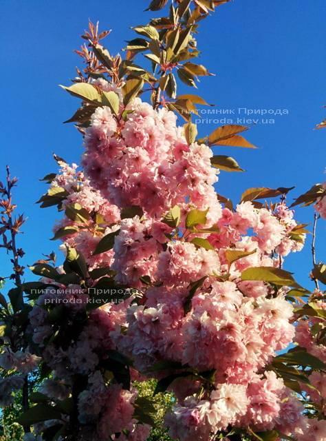 Сакура Канзан (Вишня мелкопильчатая) (Prunus serrulata Kanzan) ФОТО Питомник растений Природа (2)