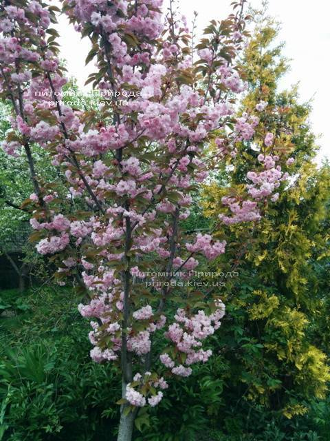 Сакура Канзан (Вишня мелкопильчатая) (Prunus serrulata Kanzan) ФОТО Питомник растений Природа (3)