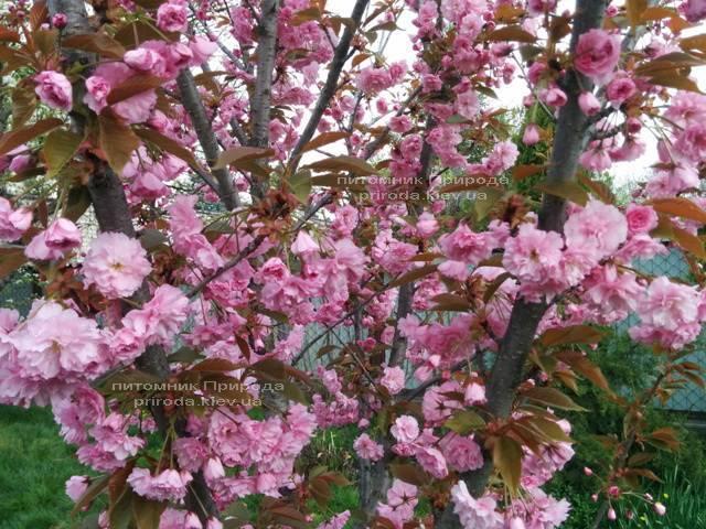 Сакура Канзан (Вишня мелкопильчатая) (Prunus serrulata Kanzan) ФОТО Питомник растений Природа (5)