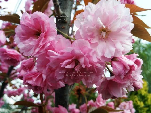 Сакура Канзан (Вишня мелкопильчатая) (Prunus serrulata Kanzan) ФОТО Питомник растений Природа (8)