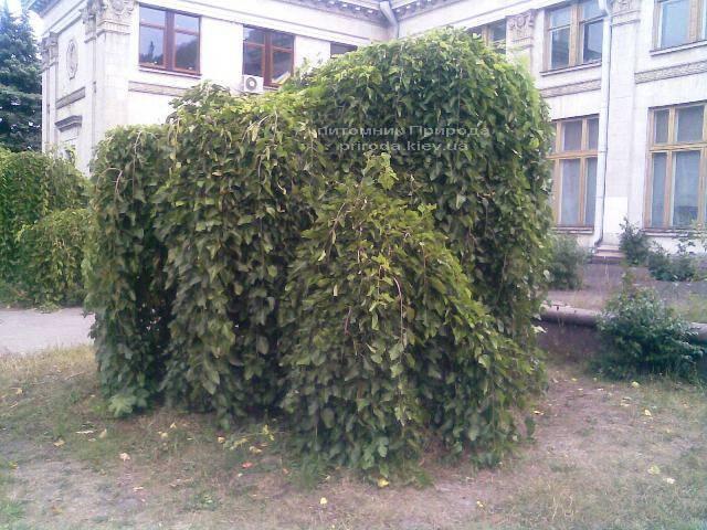 Шовковиця плакуча Пендула на штамбі (Morus alba Pendulla) ФОТО Розплідник декоративних рослин Природа Priroda (1)