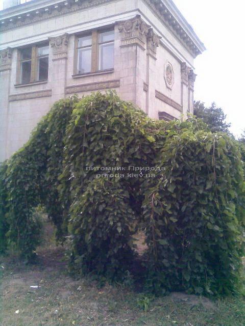 Шовковиця плакуча Пендула на штамбі (Morus alba Pendulla) ФОТО Розплідник декоративних рослин Природа (2)