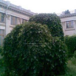 Шовковиця плакуча Пендула на штамбі (Morus alba Pendulla) ФОТО Розплідник рослин Природа Priroda (3)