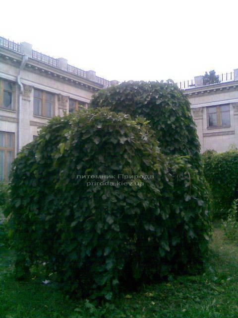 Шелковица плакучая Пендула на штамбе (Morus alba Pendulla) ФОТО Питомник растений Природа Priroda (3)