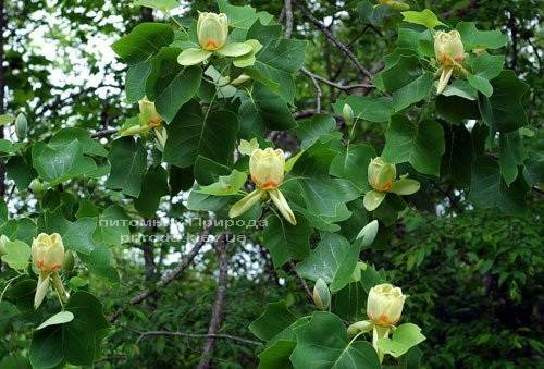 Тюльпановое дерево / Лириодендрон (Liriodendron tulipifera) ФОТО Питомник растений Природа Priroda (1)