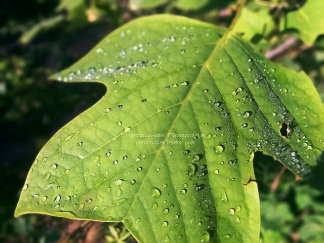 Тюльпановое дерево / Лириодендрон (Liriodendron tulipifera) ФОТО Питомник декоративных растений Природа (2)