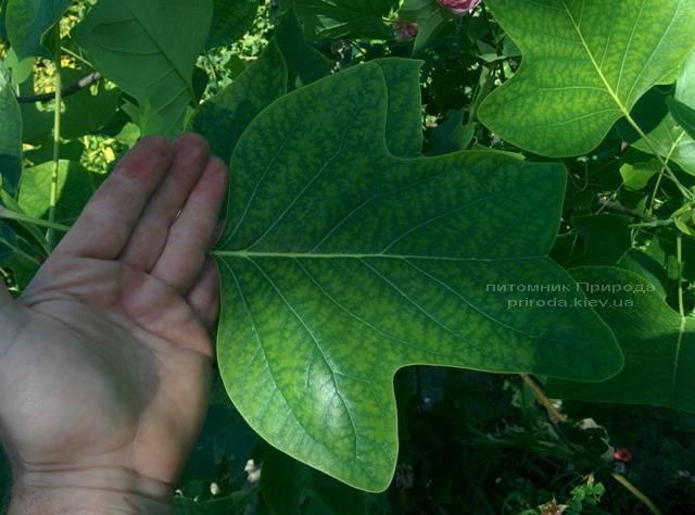 Тюльпановое дерево / Лириодендрон (Liriodendron tulipifera) ФОТО Питомник декоративных растений Природа (4)