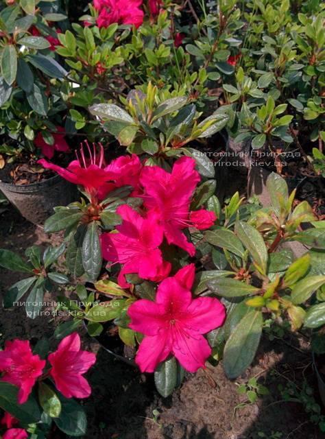 Азалія японська садові / Рододендрон Арабеска (Rhododendron Azalea japonica Arabeska) ФОТО Розплідник рослин Природа Priroda (29)