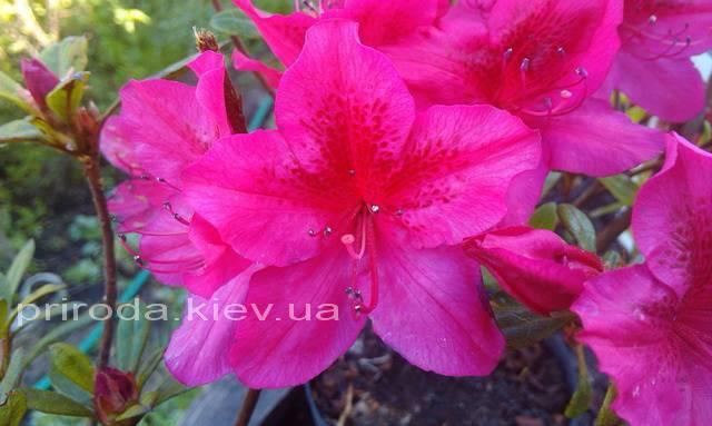 Азалія японська садові / Рододендрон Арабеска (Rhododendron Azalea japonica Arabeska) ФОТО Розплідник рослин Природа Priroda (33)