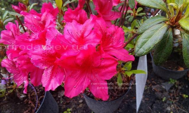 Азалія японська садові / Рододендрон Арабеска (Rhododendron Azalea japonica Arabeska) ФОТО Розплідник рослин Природа Priroda (34)