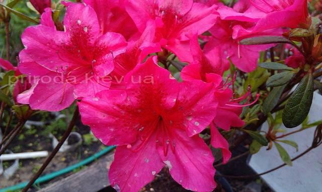 Азалія японська садові / Рододендрон Арабеска (Rhododendron Azalea japonica Arabeska) ФОТО Розплідник рослин Природа Priroda (35)