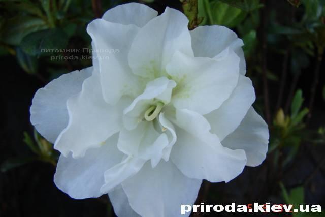Азалія японська садові / Рододендрон Шнеперле (Rhododendron Azalea japonica Schneeperle) ФОТО Розплідник рослин Природа Priroda (37)