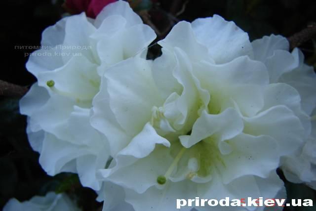 Азалия японская садовая / Рододендрон Шнеперле (Rhododendron Azalea japonica Schneeperle) ФОТО Питомник растений Природа Priroda (39)