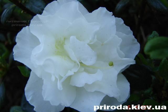 Азалия японская садовая / Рододендрон Шнеперле (Rhododendron Azalea japonica Schneeperle) ФОТО Питомник растений Природа Priroda (40)