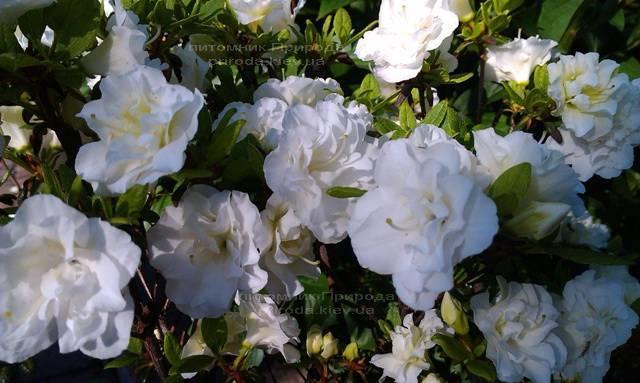 Азалія японська садові / Рододендрон Шнеперле (Rhododendron Azalea japonica Schneeperle) ФОТО Розплідник рослин Природа Priroda (41)