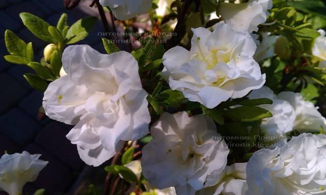 Азалія японська садові / Рододендрон Шнеперле (Rhododendron Azalea japonica Schneeperle) ФОТО Розплідник рослин Природа Priroda (42)