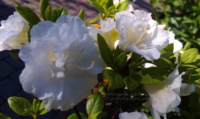 Азалия японская садовая / Рододендрон Шнеперле (Rhododendron Azalea japonica Schneeperle) ФОТО Питомник растений Природа Priroda (43)