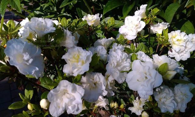 Азалия японская садовая / Рододендрон Шнеперле (Rhododendron Azalea japonica Schneeperle) ФОТО Питомник растений Природа Priroda (44)