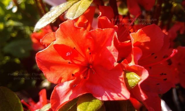 Азалия японская садовая / Рододендрон Гейша Оранж (Rhododendron Azalea japonica Geisha Orange) ФОТО Питомник растений Природа Priroda (46)