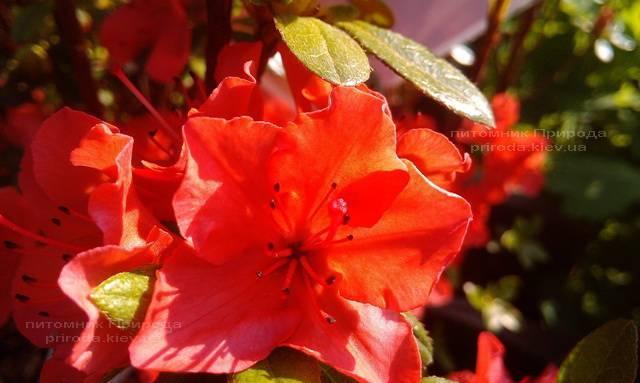 Азалія японська садові / Рододендрон Гейша Оранж (Rhododendron Azalea japonica Geisha Orange) ФОТО Розплідник рослин Природа Priroda (47)