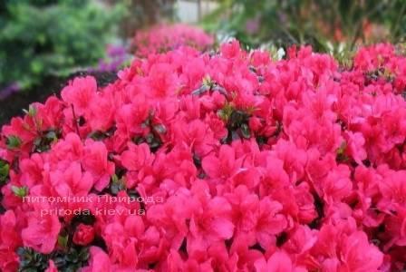 Азалія японська садові / Рододендрон Марушка (Rhododendron Azalea japonica Marushka) ФОТО Розплідник рослин Природа Priroda (49)