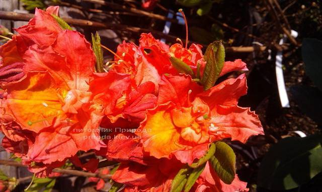 Азалия садовая крупноцветковая / Рододендрон листопадный Джуанита (Rododendron Juanita) ФОТО Питомник растений Природа Priroda (12)
