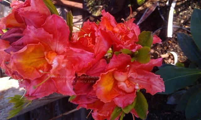 Азалия садовая крупноцветковая / Рододендрон листопадный Джуанита (Rododendron Juanita) ФОТО Питомник растений Природа Priroda (13)