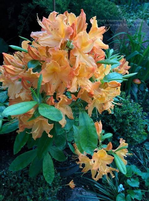 Азалія садові крупноквіткова / Рододендрон листопадний Голден Лайт (Rododendron Golden Lights) ФОТО Розплідник рослин Природа Priroda (15)