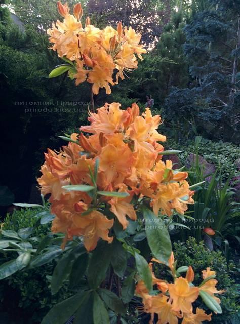 Азалія садові крупноквіткова / Рододендрон листопадний Голден Лайт (Rododendron Golden Lights) ФОТО Розплідник рослин Природа Priroda (16)