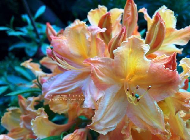 Азалія садові крупноквіткова / Рододендрон листопадний Голден Лайт (Rododendron Golden Lights) ФОТО Розплідник рослин Природа Priroda (18)
