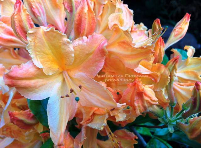 Азалия садовая крупноцветковая / Рододендрон листопадный Голден Лайт (Rododendron Golden Lights) ФОТО Питомник растений Природа Priroda (20)