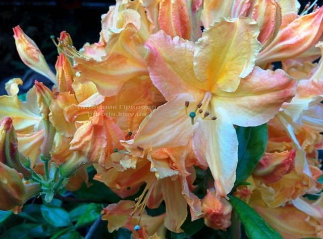 Азалія садові крупноквіткова / Рододендрон листопадний Голден Лайт (Rododendron Golden Lights) ФОТО Розплідник рослин Природа Priroda (21)