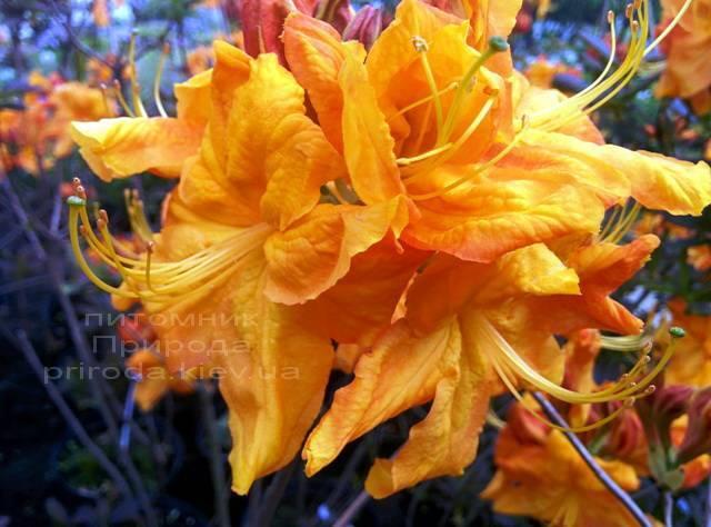 Азалия садовая крупноцветковая / Рододендрон листопадный Клондайк (Rododendron Klondyke) ФОТО Питомник растений Природа Priroda (1)