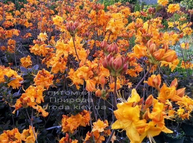 Азалия садовая крупноцветковая / Рододендрон листопадный Клондайк (Rododendron Klondyke) ФОТО Питомник растений Природа Priroda (2)