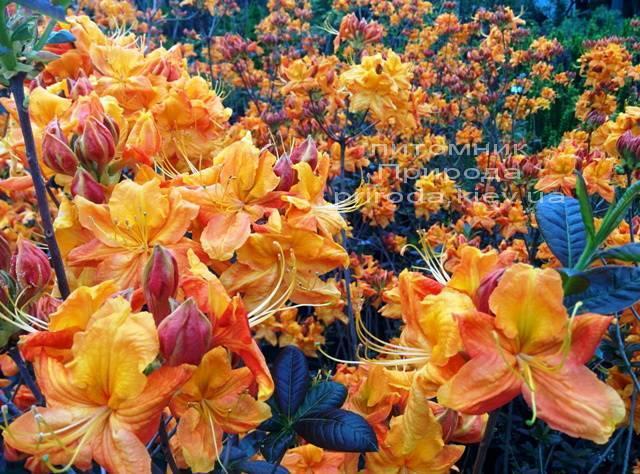 Азалия садовая крупноцветковая / Рододендрон листопадный Клондайк (Rododendron Klondyke) ФОТО Питомник растений Природа Priroda (3)