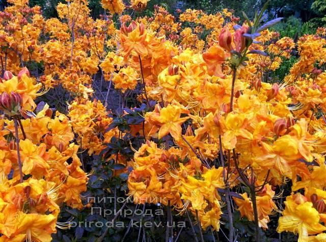 Азалія садові крупноквіткова / Рододендрон листопадний Клондайк (Rododendron Klondyke) ФОТО Розплідник рослин Природа Priroda (4)