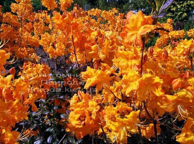 Азалия садовая крупноцветковая / Рододендрон листопадный Клондайк (Rododendron Klondyke) ФОТО Питомник растений Природа Priroda (5)
