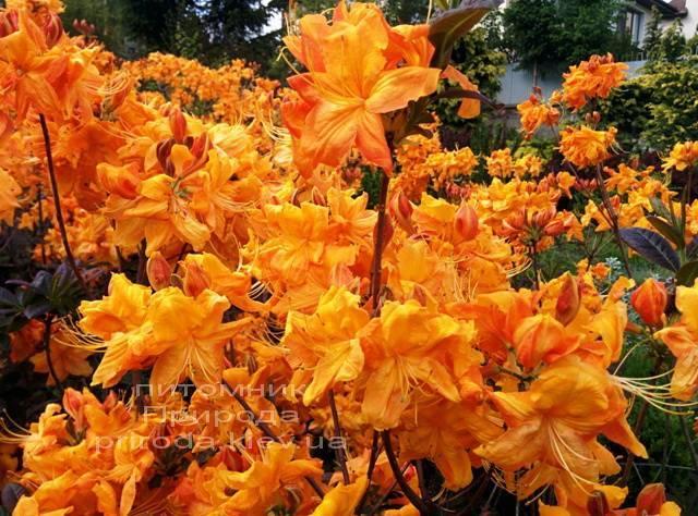 Азалія садові крупноквіткова / Рододендрон листопадний Клондайк (Rododendron Klondyke) ФОТО Розплідник рослин Природа Priroda (6)