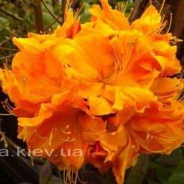 Азалія садові крупноквіткова / Рододендрон листопадний Клондайк (Rododendron Klondyke) ФОТО Розплідник рослин Природа Priroda (7)