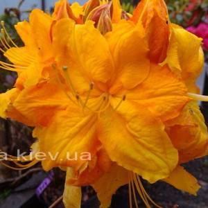 Азалия крупноцветковая садовая (Рододендрон листопадный)