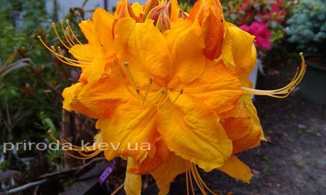 Азалія садові крупноквіткова / Рододендрон листопадний Клондайк (Rhododendron Klondyke) ФОТО Розплідник рослин Природа Priroda (8)
