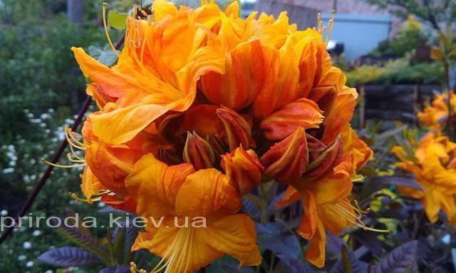 Азалія садові крупноквіткова / Рододендрон листопадний Клондайк (Rhododendron Klondyke) ФОТО Розплідник рослин Природа Priroda (9)