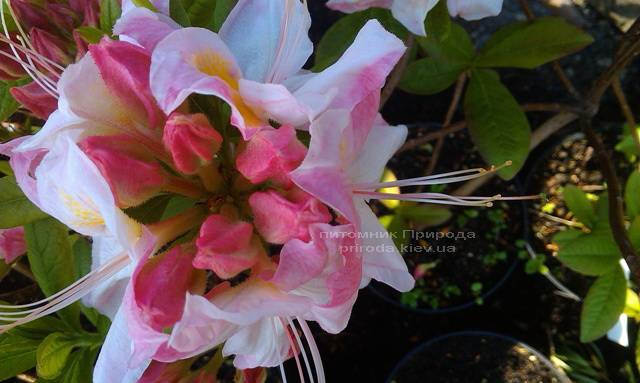 Азалия садовая крупноцветковая / Рододендрон листопадный Сатоми (Rododendron Satomi) ФОТО Питомник растений Природа Priroda (22)