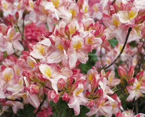 Азалия садовая крупноцветковая / Рододендрон листопадный Сатоми (Rododendron Satomi) ФОТО Питомник растений Природа Priroda (23)