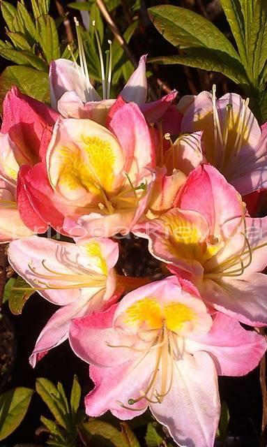 Азалия садовая крупноцветковая / Рододендрон листопадный Сатоми (Rododendron Satomi) ФОТО Питомник растений Природа Priroda (24)