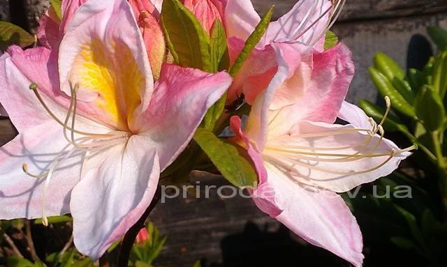 Азалия садовая крупноцветковая / Рододендрон листопадный Сатоми (Rododendron Satomi) ФОТО Питомник растений Природа Priroda (25)