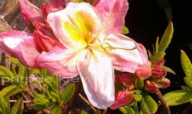 Азалия садовая крупноцветковая / Рододендрон листопадный Сатоми (Rododendron Satomi) ФОТО Питомник растений Природа Priroda (26)
