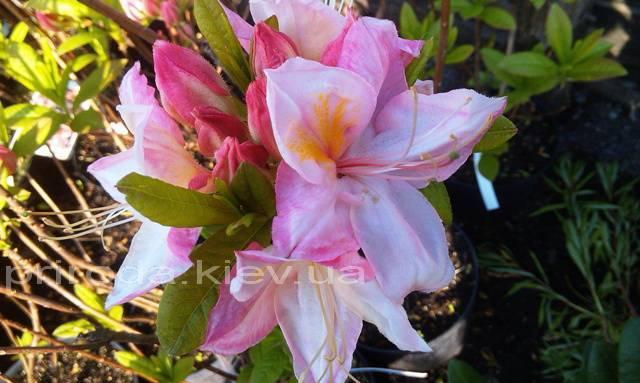 Азалия садовая крупноцветковая / Рододендрон листопадный Сатоми (Rododendron Satomi) ФОТО Питомник растений Природа Priroda (27)